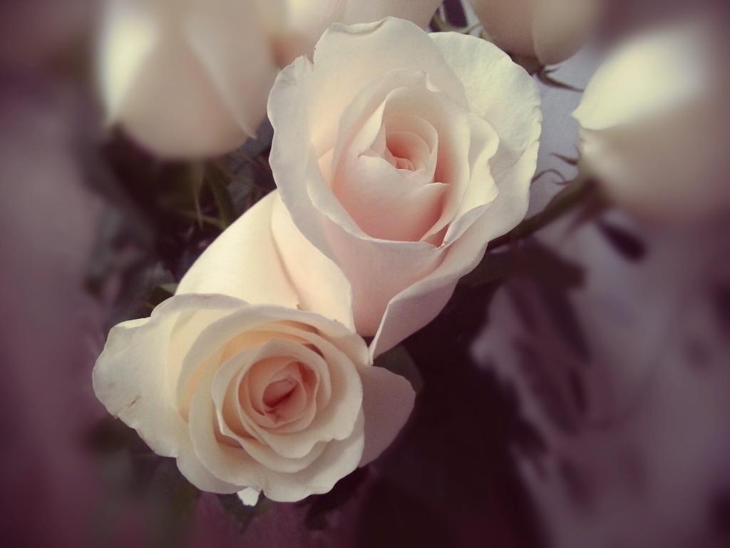 Фото с камеры Samsung Galaxy S3, розы