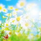 Flowers n Butterflies – ромашковое поле