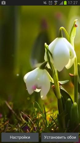 White Flowers HD Wallpaper – нежные подснежники для Android