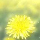 Galaxy S4 Yellow – поле одуванчиков