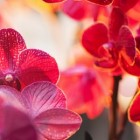 Free Wallpaper Red Orchid – изумительные орхидеи