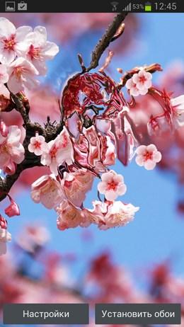 Сакура живые обои – цветущие деревья